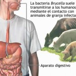 Brucelosis: ¿cómo nos puede afectar?
