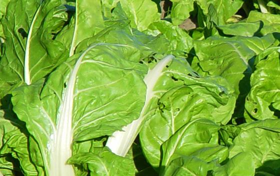 La acelga, un vegetal con grandes beneficios para la salud